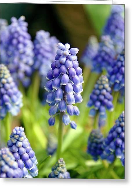 Grape Hyacinth (muscari Armeniacum) Greeting Card
