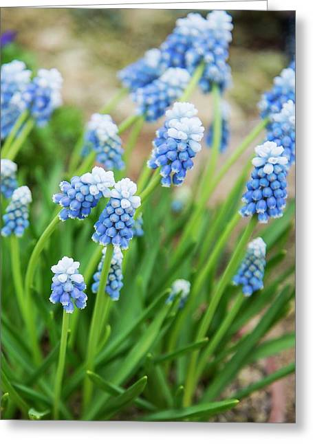Grape Hyacinth (muscari 'mount Hood') Greeting Card