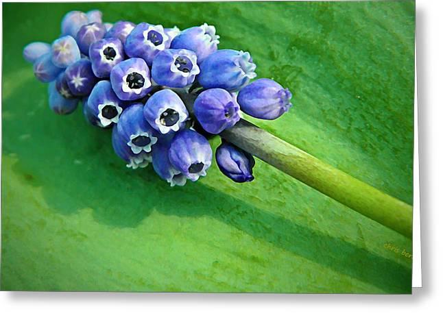 Grape Hyacinth Spike  Greeting Card by Chris Berry