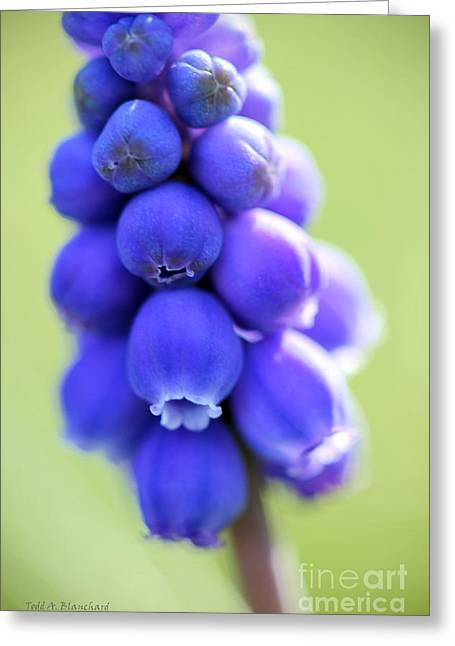 Greeting Card featuring the photograph Grape Hyacinth by Todd Blanchard