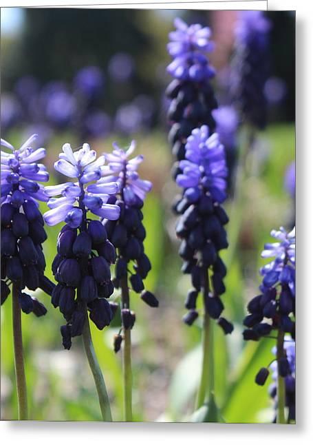Grape Hyacinths Greeting Card