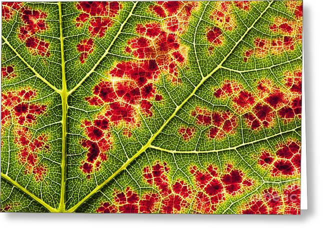 Grape Leaf Texture Greeting Card by Tim Gainey