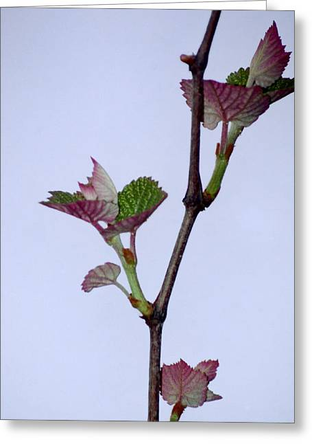 Grape Leaves Greeting Card by Cynthia Syracuse