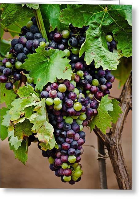 Grape Veraison Greeting Card by Swift Family