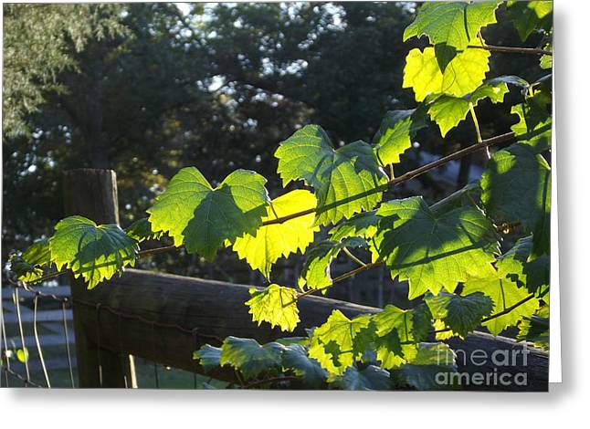 Grape Vine In The Sun Greeting Card by Cheryl Hardt Art
