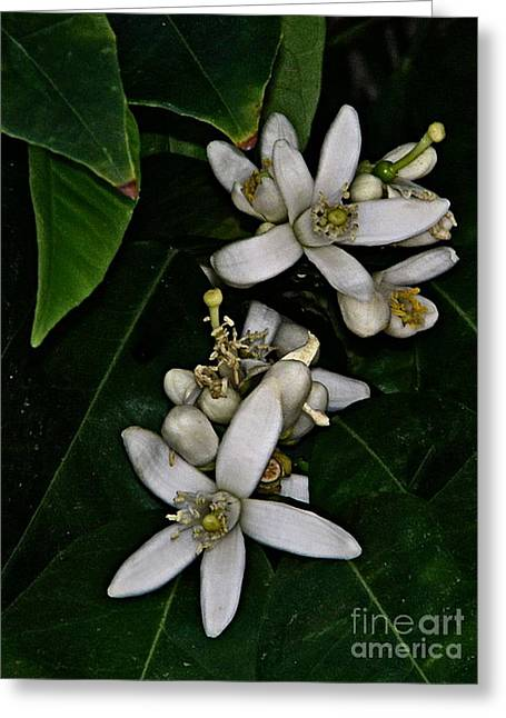 Greeting Card featuring the photograph Grapefruit Blossoms by Ruth Jolly