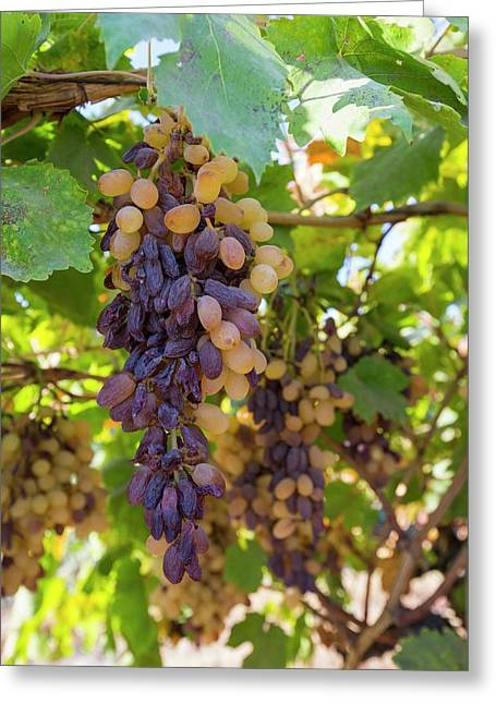Grapes Growing In Bakersfield Greeting Card by Ashley Cooper