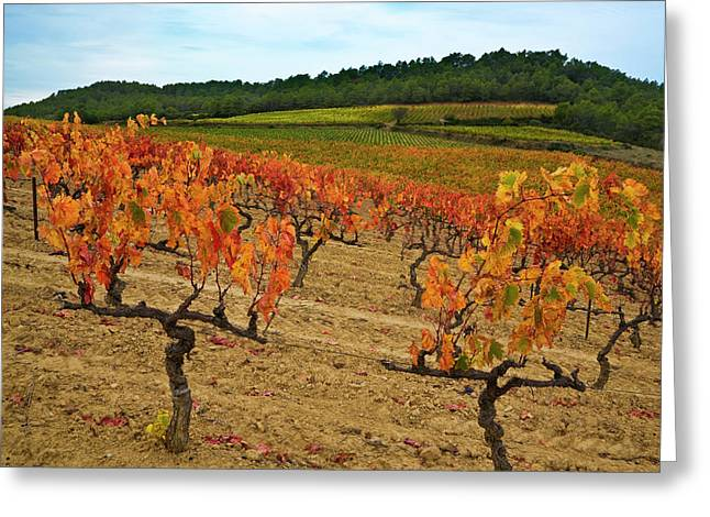 Grapes In A Vineyard Ready Greeting Card by Panoramic Images