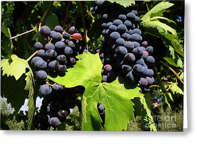 Grapes On A Vine Greeting Card by Tim Holt
