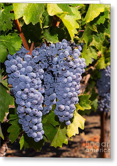 Grapes On The Vines In The St Helena Vineyards Napa California Dsc1729 Vertical Greeting Card