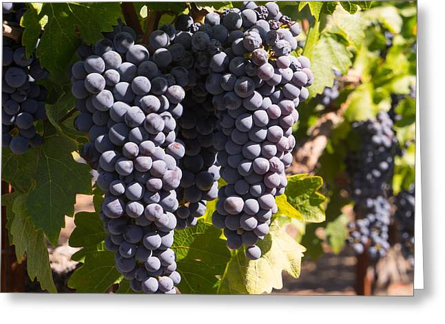 Grapes On The Vines In The St Helena Vineyards Napa California Dsc1731 Square Greeting Card