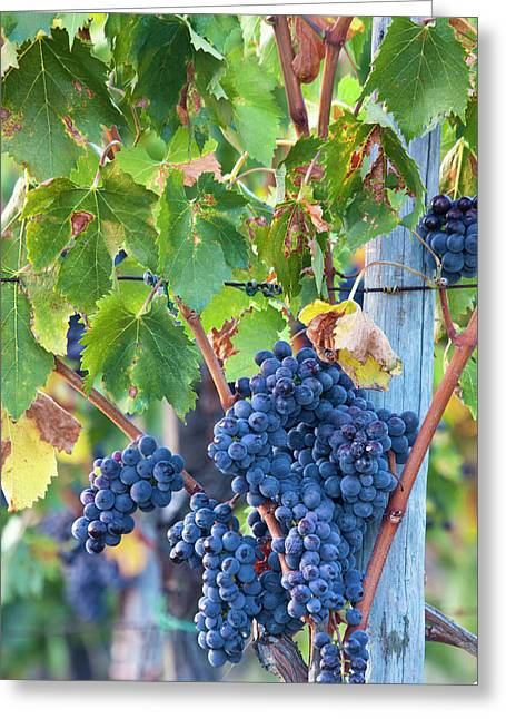 Grapes Ready For Harvest On The Tuscan Greeting Card