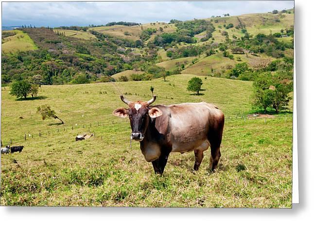Grass Fed Brahman Cattle, Costa Rica Greeting Card by Susan Degginger