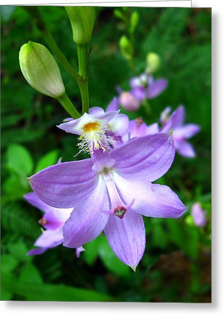 Greeting Card featuring the photograph Grass Pink Orchid by William Tanneberger