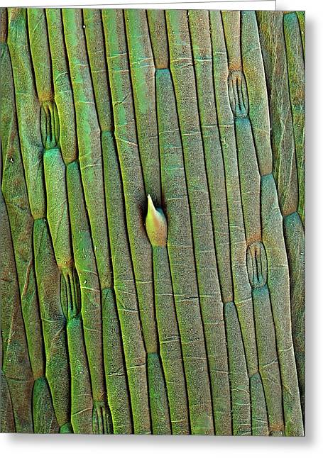 Grass Trichome And Stomata Greeting Card by Stefan Diller