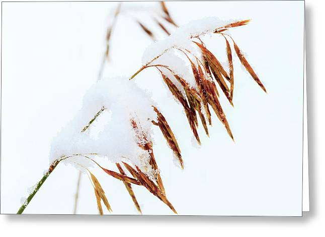 Grasses, First Snow Of October Greeting Card
