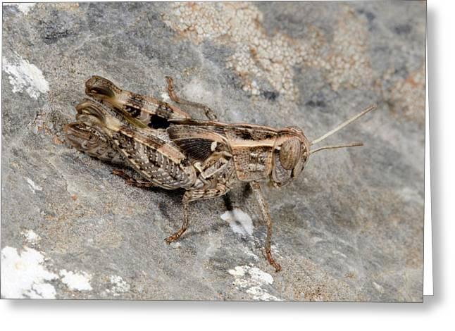 Grasshopper Calliptamus Barbarus Juvenile Greeting Card