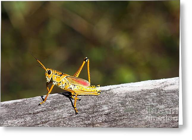Grasshopper Joe Greeting Card by Christiane Schulze Art And Photography
