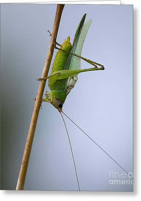 Grasshopper Greeting Card by Anne Rodkin