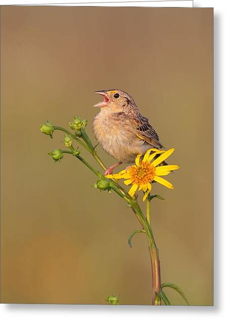 Grasshopper Sparrow Singing Greeting Card by Daniel Behm