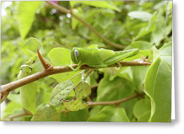 Grasshopper Greeting Card by Steve Allen/science Photo Library