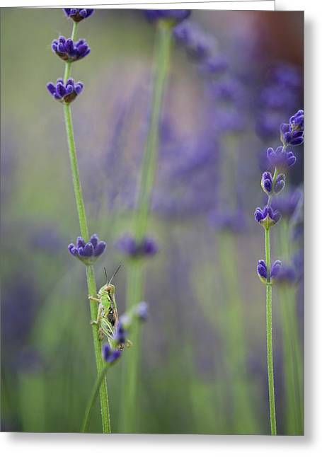 Grasshopper With Lavender Greeting Card