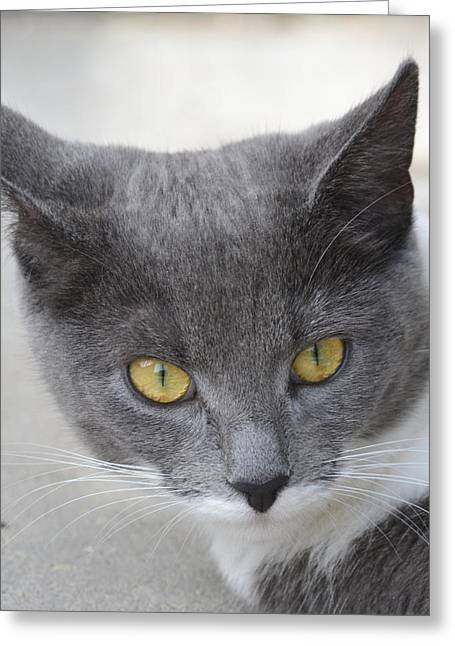 Gray Cat - Listening Greeting Card