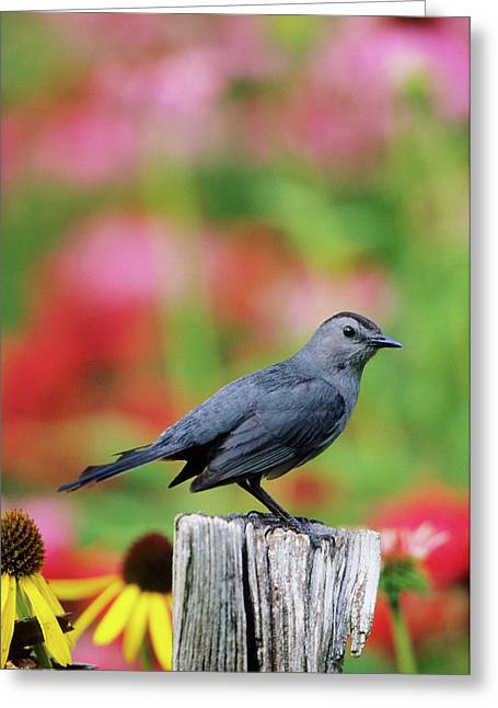 Gray Catbird (dumetella Carolinensis Greeting Card