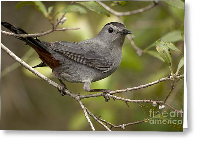 Greeting Card featuring the photograph Gray Catbird by Meg Rousher