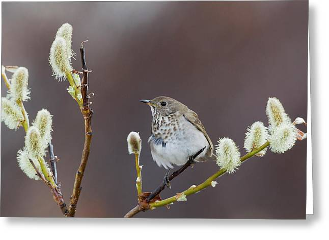 Gray-cheeked Thrush Greeting Card