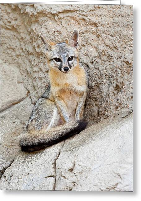 Gray Fox (urocyon Cinereoargenteus Greeting Card