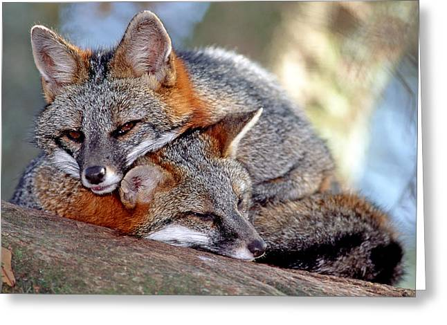 Gray Foxes Greeting Card