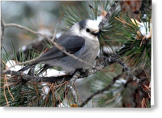 Gray Jay On A Snowy Pine Greeting Card