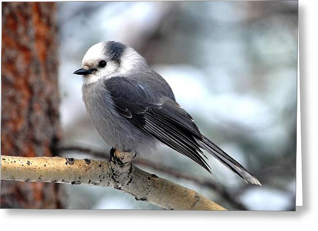 Gray Jay On Aspen Greeting Card