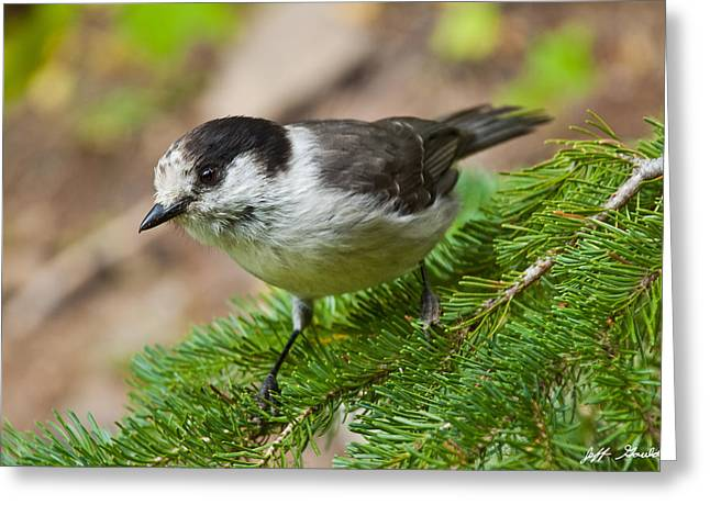 Gray Jay On Fir Tree Greeting Card