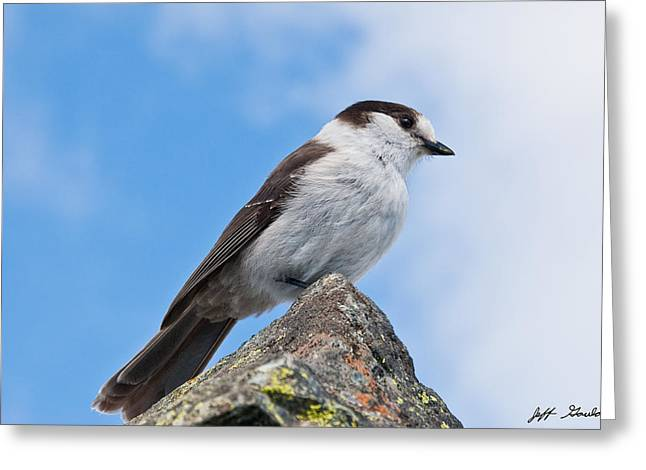 Gray Jay With Blue Sky Background Greeting Card