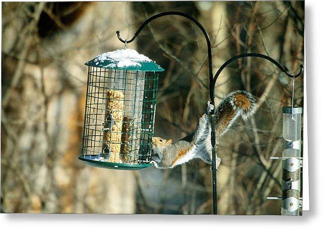 Gray Squirrel At Birdfeeder Greeting Card