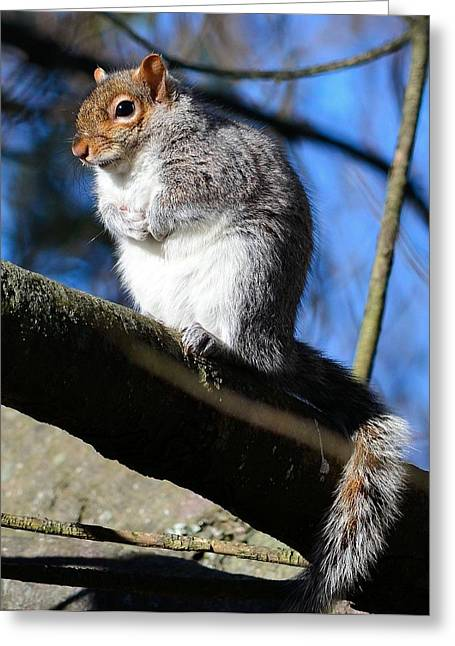 Gray Squirrel Greeting Card by Kathy Eickenberg