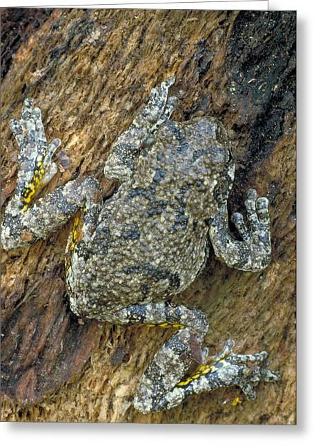 Gray Tree Frog Greeting Card