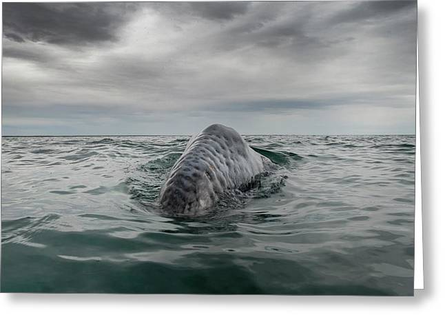 Gray Whale Breaching Greeting Card by Christopher Swann