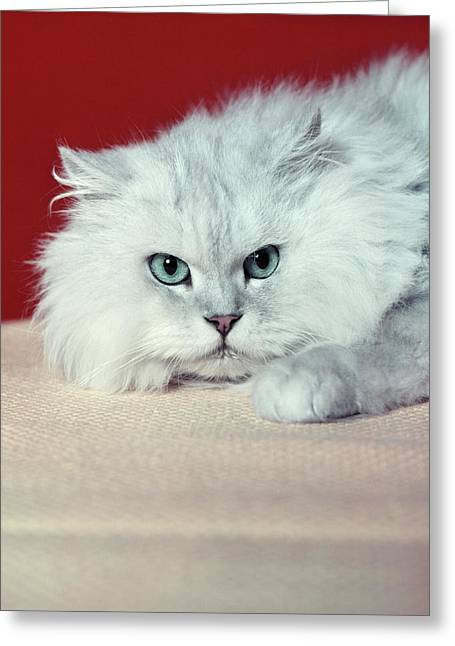 Gray White Long Haired Cat Blue Eyes Greeting Card