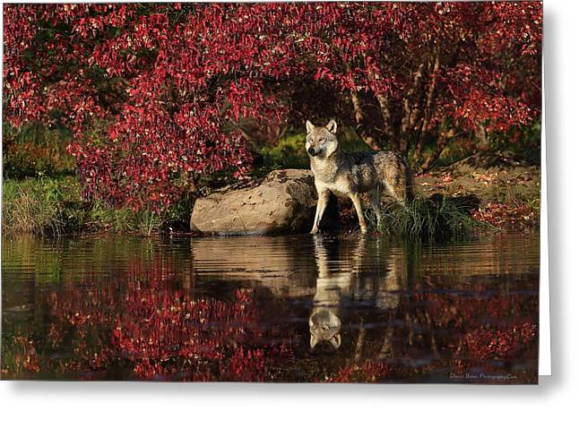 Gray Wolf At Waters Edge Greeting Card