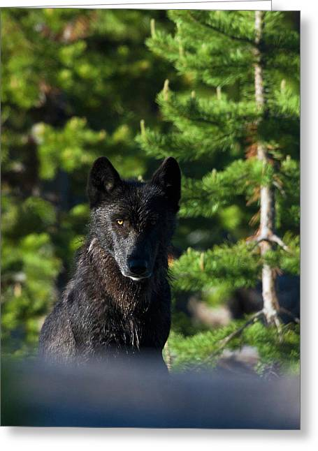Gray Wolf, Black Phase Greeting Card