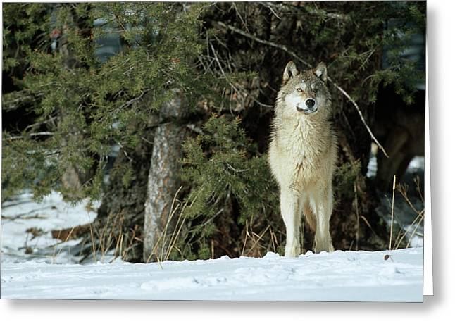 Gray Wolf (canis Lupis Greeting Card