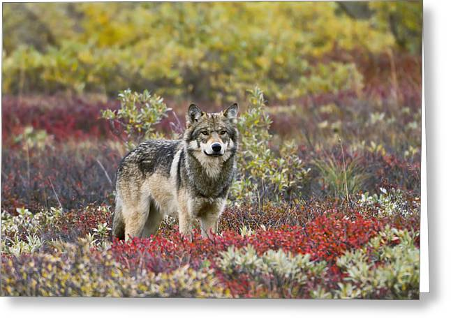 Gray Wolf Canis Lupus Walking Along Greeting Card by Gary Schultz