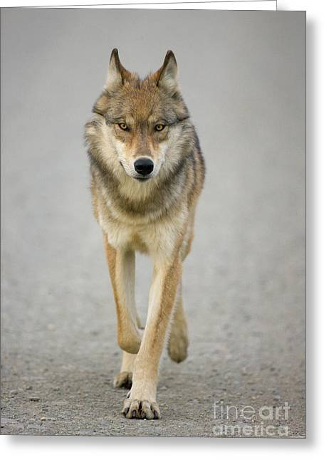 Gray Wolf Denali National Park Alaska Greeting Card