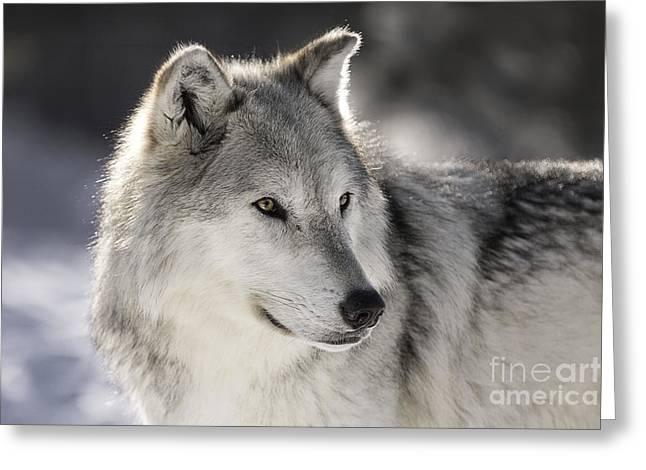 Animals - Gray Wolf Greeting Card by Feryal Faye Berber