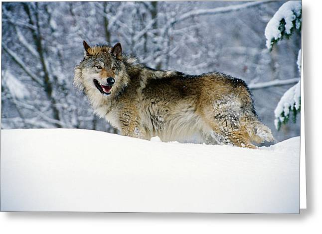 Gray Wolf In Snow, Montana, Usa Greeting Card