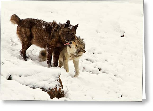 Gray Wolf Licking Black Wolf  Greeting Card by James Futterer