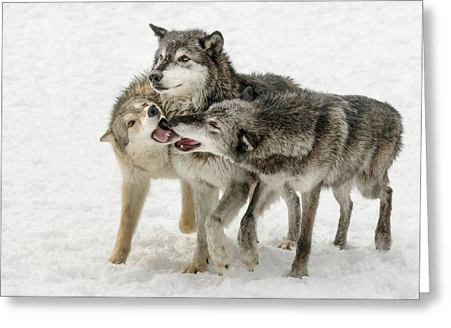 Gray Wolf Pack Behavior In Winter Greeting Card